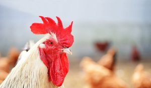 Climat pour l aviculture