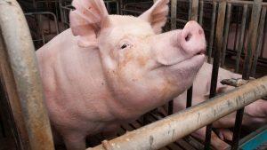 Porcs sangliers