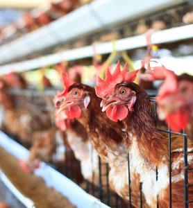 Rafrachisseurs adiabatiques pour aviculture