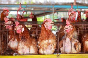 Rafrachisseurs pour aviculture