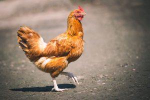 Ventilateurs pour aviculture