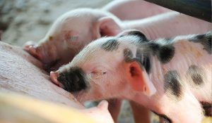 Ventilation et d humidification pour porcs